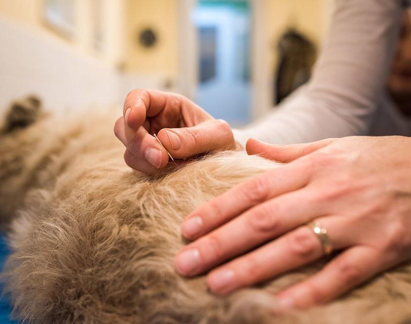 dierfysiotherapie behandeling - dryneedling hond